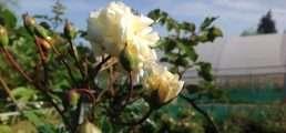 Le rose di Nicola
